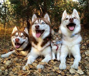 Τα τρία Χάσκυ