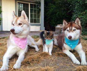 Τα τρία Χάσκυ 3